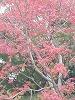 赤く色づいた楓の木です。
